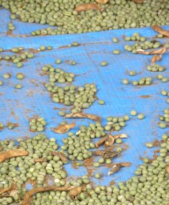 グリン豆.jpg