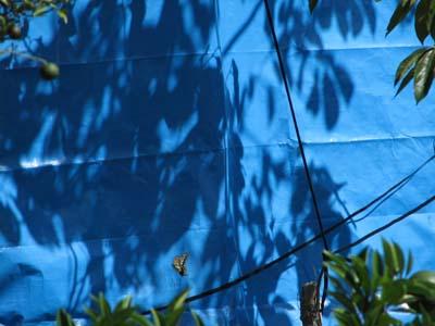 ブルーの影とアゲハ.jpg