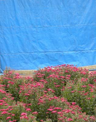 ブルーシートと赤い菊.jpg
