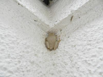 白くなりたい雨蛙.jpg