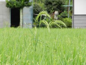 背高ノッポの稲.jpg