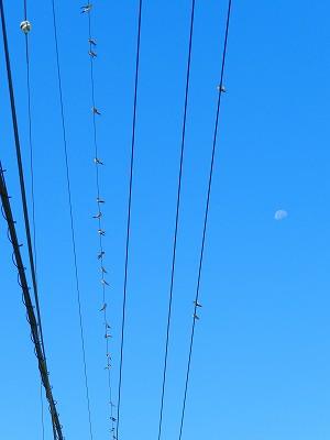 葉月廿日の月とツバメ01.jpg