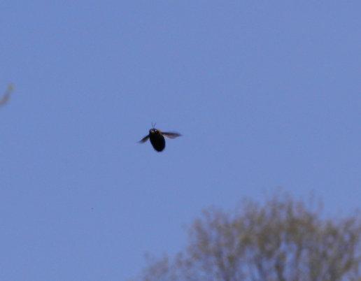 飛ぶクマンバチ01.jpg