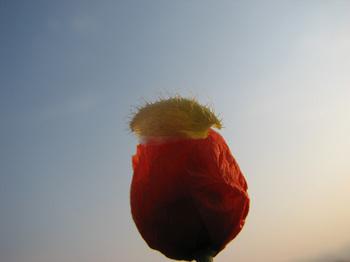 ケシの花01.jpg