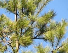 冬の松の葉の色が好き.jpg