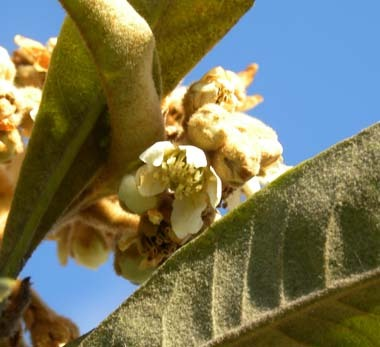 枇杷の花真冬に咲く.jpg