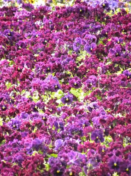 赤紫.jpg